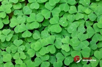 Cỏ 3 lá - Biểu tượng của đất nước Ireland
